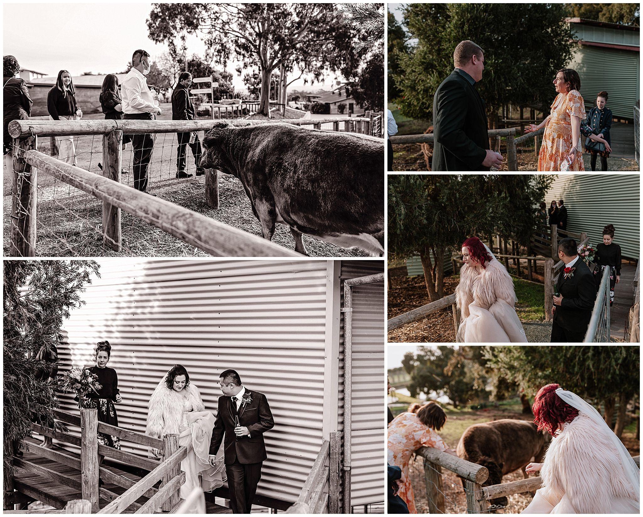 quarry-farm-wa-shearing-shed-bella-cow